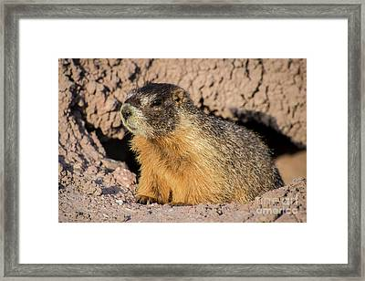 Yellow-bellied Marmot - Capitol Reef National Park Framed Print