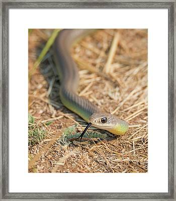 Yellow Bellied Racer Framed Print
