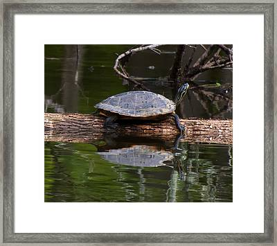 Yellow Bellied Slider Resting On A Log Framed Print by Chris Flees