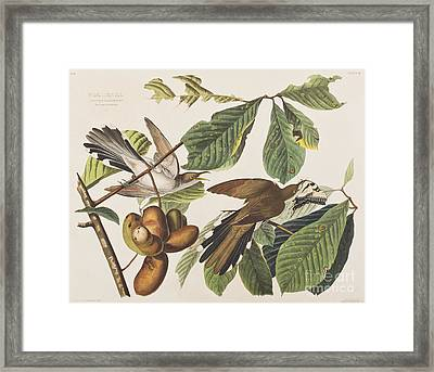 Yellow Billed Cuckoo Framed Print