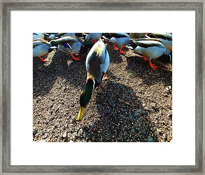 Framed Print featuring the photograph yellow Billed Duck Feeding by Roger Bester