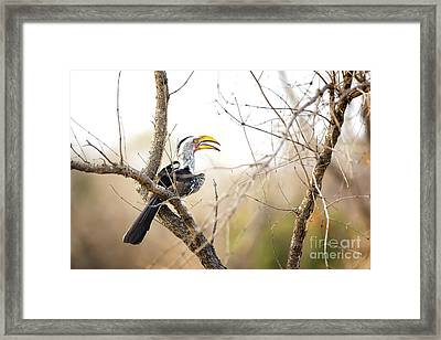 Yellow-billed Hornbill Sitting In A Tree.  Framed Print