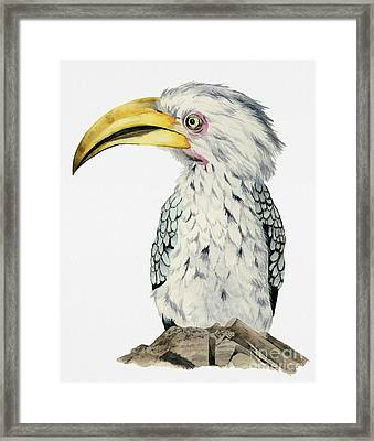 Yellow-billed Hornbill Watercolor Painting Framed Print by NamiBear