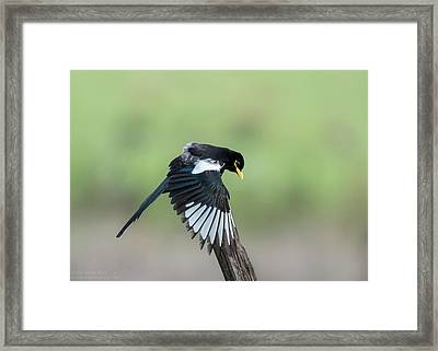 Yellow-billed Magpie Drying Wings In Rain Framed Print by Tom Ingram