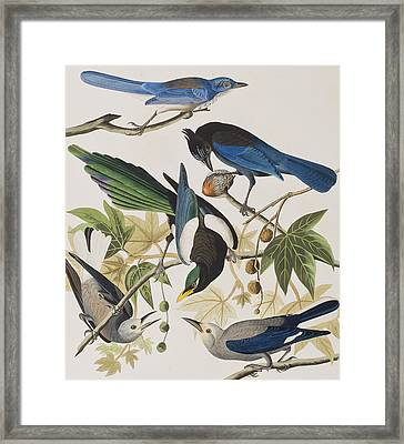 Yellow-billed Magpie Stellers Jay Ultramarine Jay Clark's Crow Framed Print