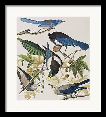 Yellow-billed Magpie Framed Prints