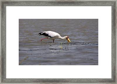 Yellow Billed Stork, Birds Of Africa Framed Print