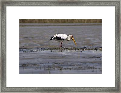 Yellow Billed Stork, Great Rift Lakes, Ethiopia Framed Print