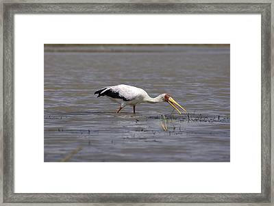 Yellow Billed Stork Wading In The Shallows Framed Print