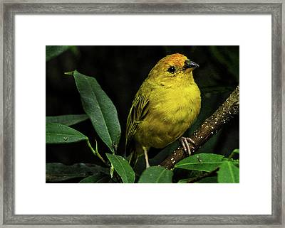 Framed Print featuring the photograph Yellow Bird by Pradeep Raja Prints