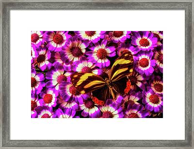 Yellow Black Butterfly On Pericallis Framed Print by Garry Gay