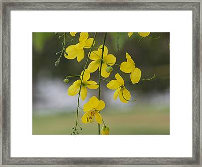 Yellow Blooms Framed Print by Peter Hanoomansingh