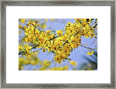 Yellow Blossoms Framed Print