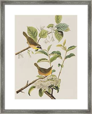 Yellow-breasted Warbler Framed Print