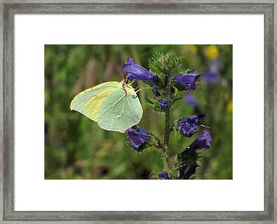 Framed Print featuring the photograph Yellow Brimstone Butterfly  by Jacqi Elmslie
