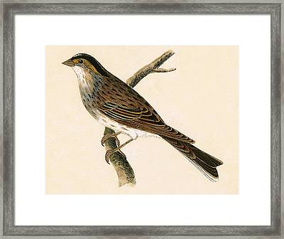 Yellow Browed Bunting Framed Print