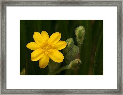 Yellow Buds Framed Print