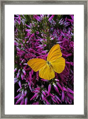 Yellow Butterfly On Italian Ventricosa Framed Print by Garry Gay