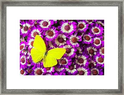 Yellow Butterfly On Pericallis Flowers Framed Print by Garry Gay