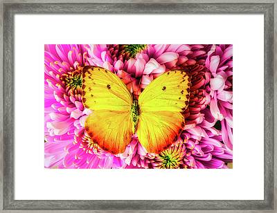 Yellow Butterfly On Spider Mums Framed Print