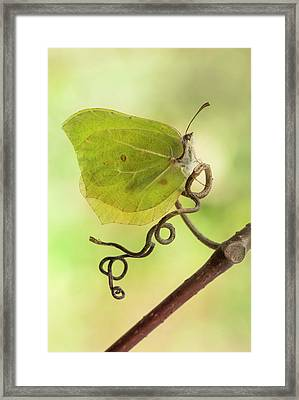 Yellow Butterfly On The Branch Framed Print