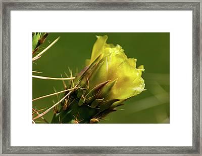 Yellow Cactus Flower Framed Print