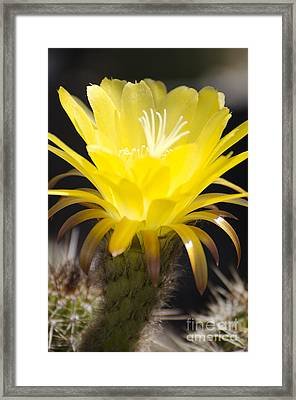Yellow Cactus Flower Framed Print by Jim and Emily Bush