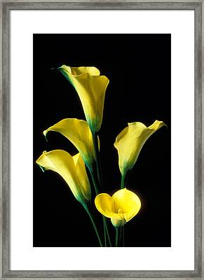 Yellow Calla Lilies  Framed Print by Garry Gay