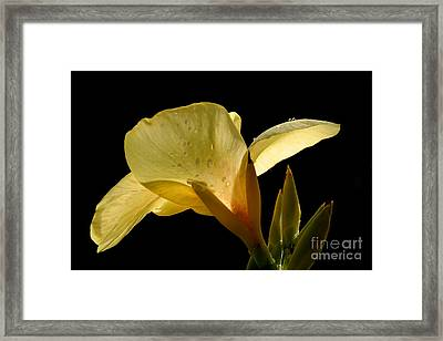 Yellow Canna Framed Print