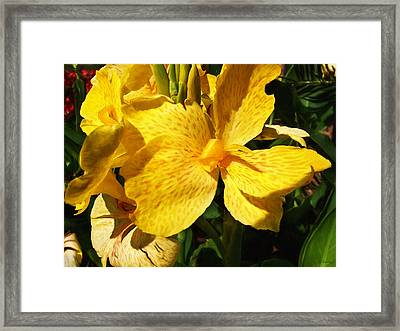Yellow Canna Lily Framed Print by Shawna Rowe