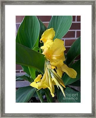 Yellow Canna Framed Print