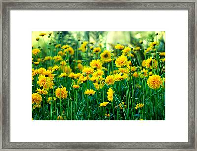 Yellow Carnations Framed Print by Edwin Verin