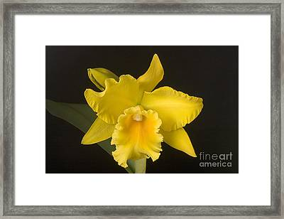 Yellow Cattleya Orchid Framed Print