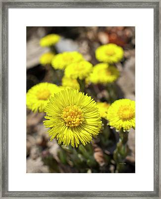 Framed Print featuring the photograph Yellow Coltsfoot Flowers by Christina Rollo