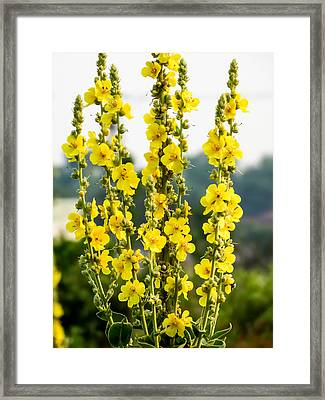 Yellow Common Mullein Framed Print