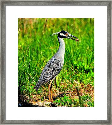 Framed Print featuring the photograph Yellow Crested Night Heron Catches A Fiddler Crab by Barbara Bowen