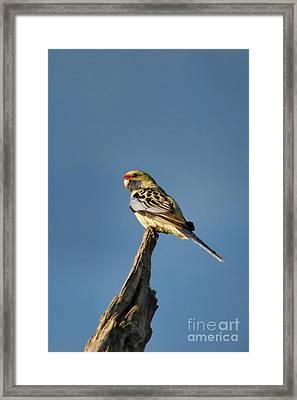 Framed Print featuring the photograph Yellow Crimson Rosella by Douglas Barnard