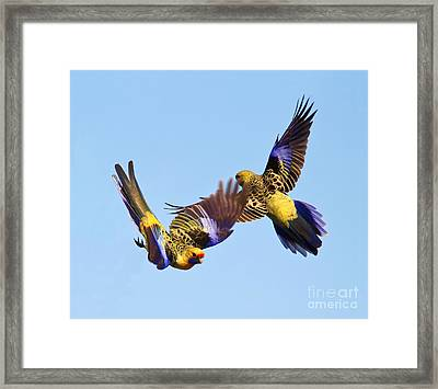 Yellow Crimson Rosellas Framed Print by Bill  Robinson