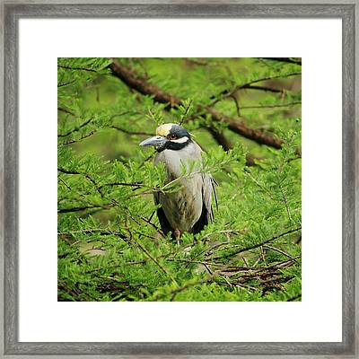 Yellow-crowned Night Heron Framed Print by Art Block Collections