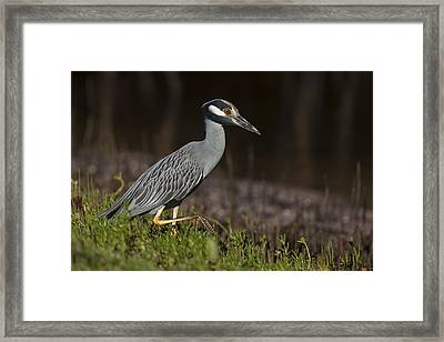 Yellow-crowned Night Heron Framed Print by David Watkins