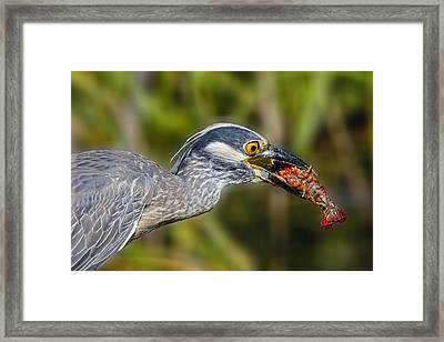 Yellow Crowned Night Heron Goes Crawfishing Framed Print by Bonnie Barry