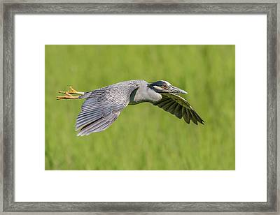 Yellow-crowned Night-heron In Flight Framed Print by Morris Finkelstein