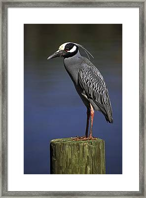 Yellow-crowned Night Heron Framed Print by Sally Weigand