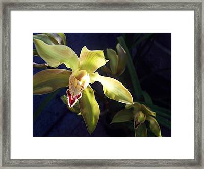 Yellow Cymbidium And Shadows Framed Print by Jean Booth
