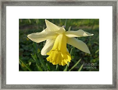Yellow Daffodil 2 Framed Print by Jean Bernard Roussilhe