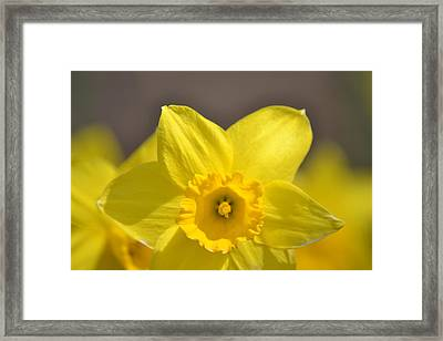Yellow Daffodil Flower Framed Print by P S
