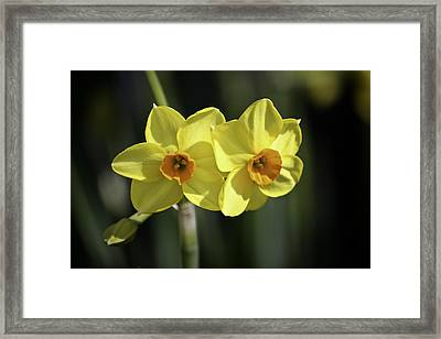 Yellow Daffodils 2 Framed Print