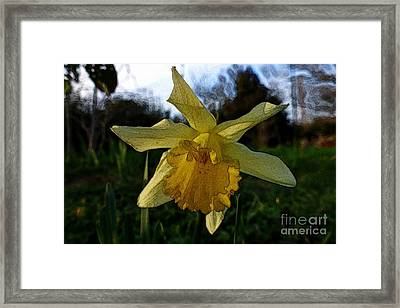 Yellow Daffodils 5 Framed Print by Jean Bernard Roussilhe