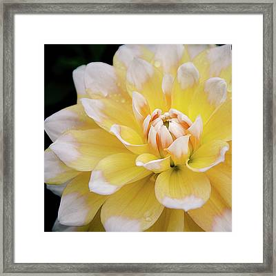 Yellow Dahlia White Tipped Framed Print by Julie Palencia