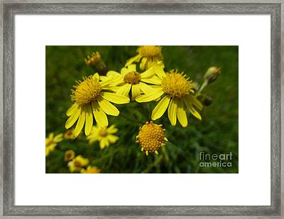 Yellow Daisies 2 Framed Print